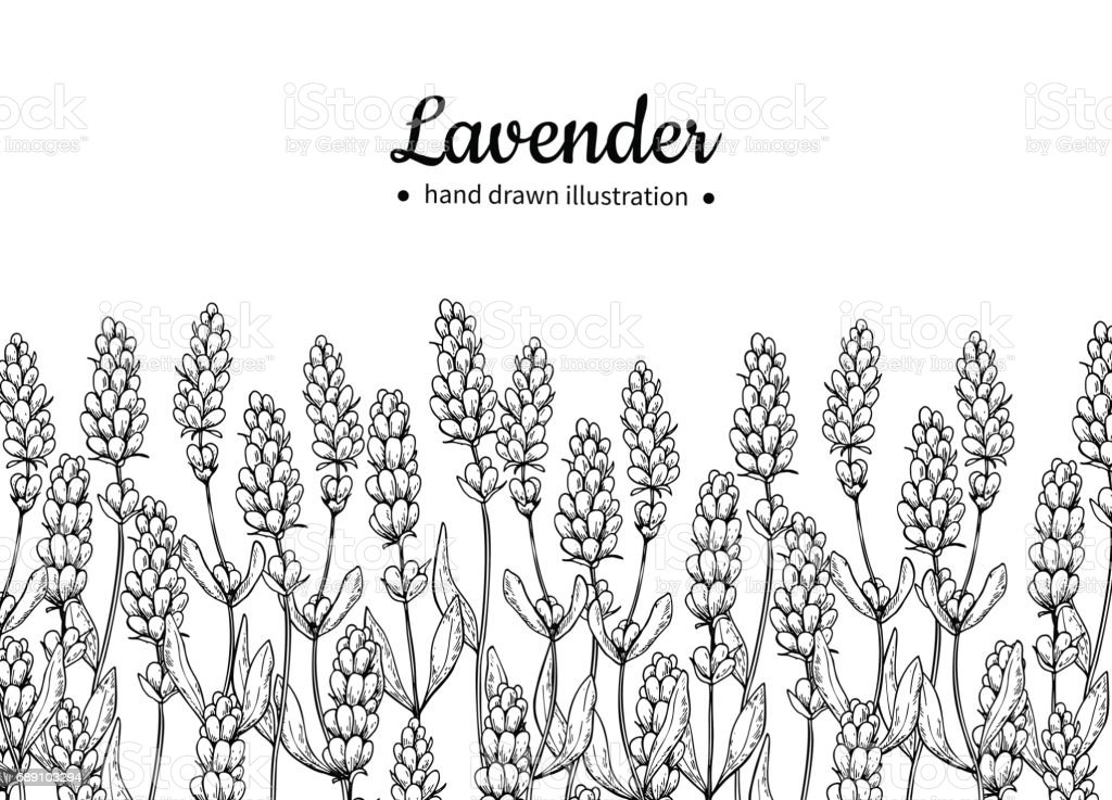 Lavender vector drawing border. Isolated  wild flower and leaves. Herbal engraved vector art illustration