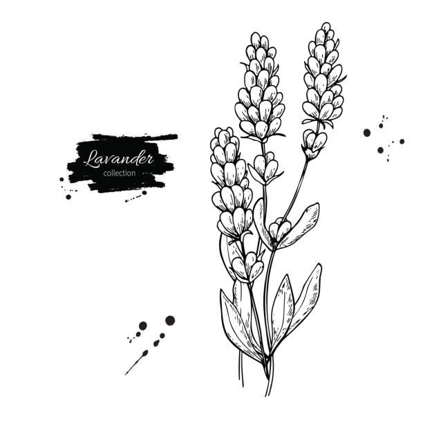 bildbanksillustrationer, clip art samt tecknat material och ikoner med lavendel vektor ritning set. isolerade vilda blommor och blad. växtbaserade graverade stil illustration. - lavender engraving