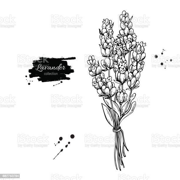 Lavender vector drawing set isolated wild flower and leaves herbal vector id682763294?b=1&k=6&m=682763294&s=612x612&h=mz2y9  b ab9ggxje3 nv lqpq 8asnmkl20wjb5 be=