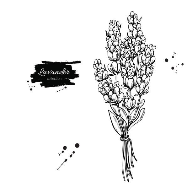 bildbanksillustrationer, clip art samt tecknat material och ikoner med lavendel vektor ritning set. isolerade vilda blommor och blad. växtbaserade ingraverat - lavender engraving