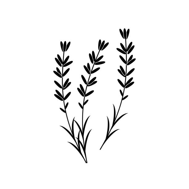 Lavender vector icon isolated on white background. Vector art: lavender silhouette. lavender plant stock illustrations