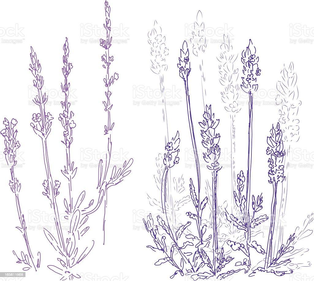 lavender royalty-free stock vector art