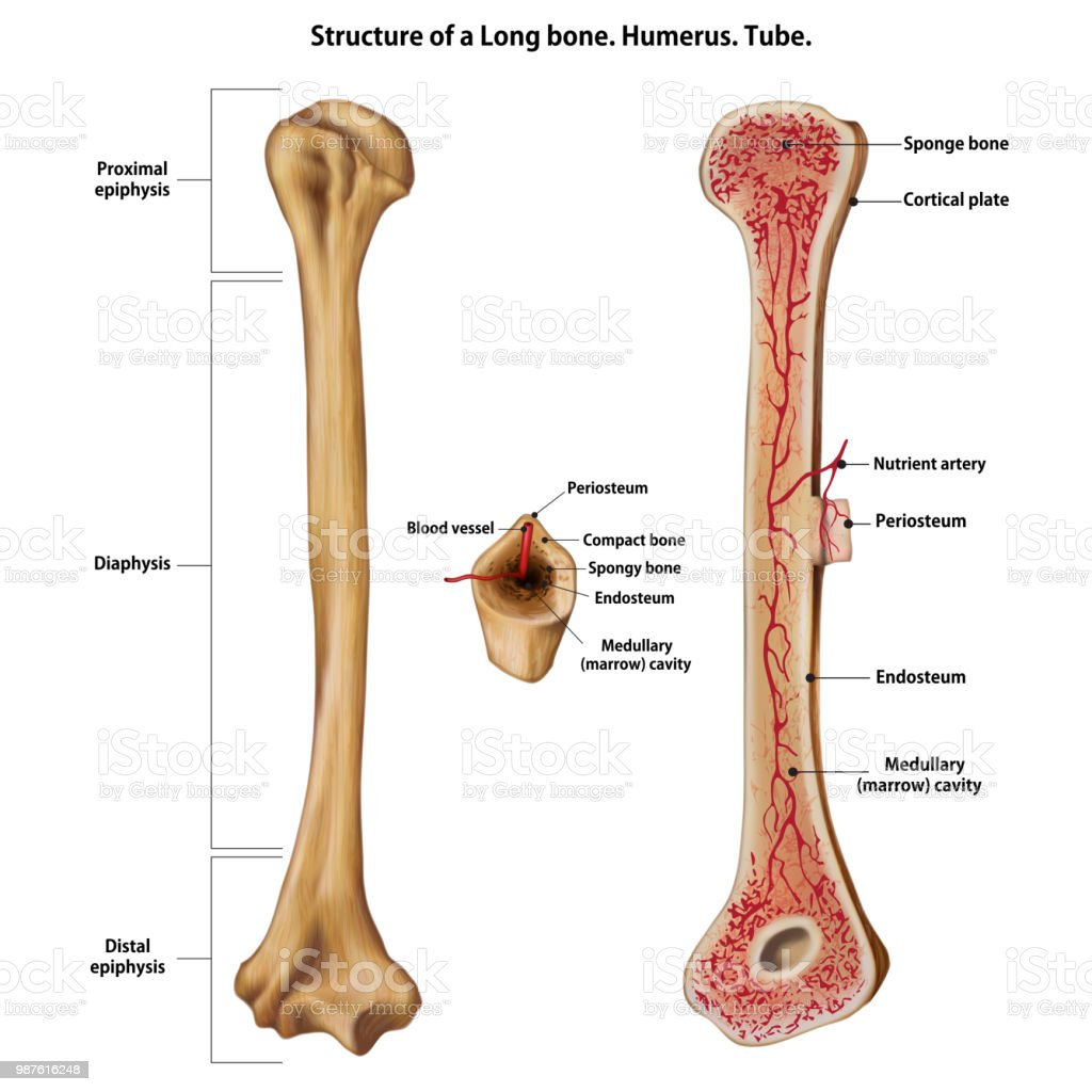 Layer Of A Long Bone Humerus Tube Stock Vector Art More Images Of