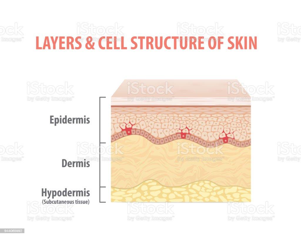 Couches & la structure cellulaire de la peau illustration vecteur sur fond blanc. Concept médical. - Illustration vectorielle