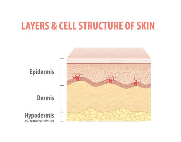 stockillustraties, clipart, cartoons en iconen met lagen & celstructuur van huid illustratie vector op witte achtergrond. medische concept. - menselijke huid