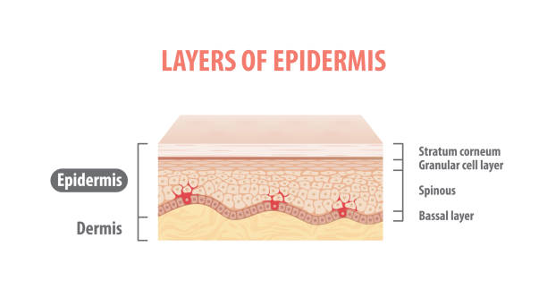 Layers of epidermis illustration vector on white background. Medical concept. Layers of epidermis illustration vector on white background. Medical concept. extreme close up stock illustrations