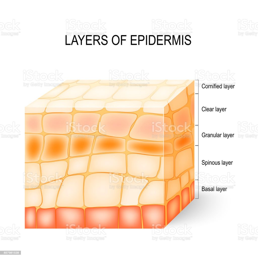 Layers Of Epidermis Stock Vector Art More Images Of Anatomy
