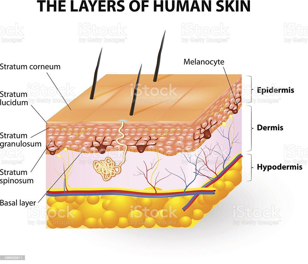 layers of human skin. Melanocyte and melanin vector art illustration