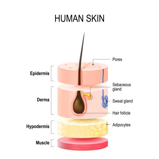 stockillustraties, clipart, cartoons en iconen met lagen van menselijke - menselijke huid