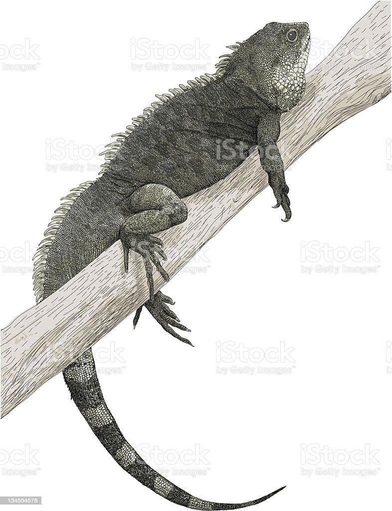 Lazy Iguana royalty-free lazy iguana stock vector art & more images of animal scale