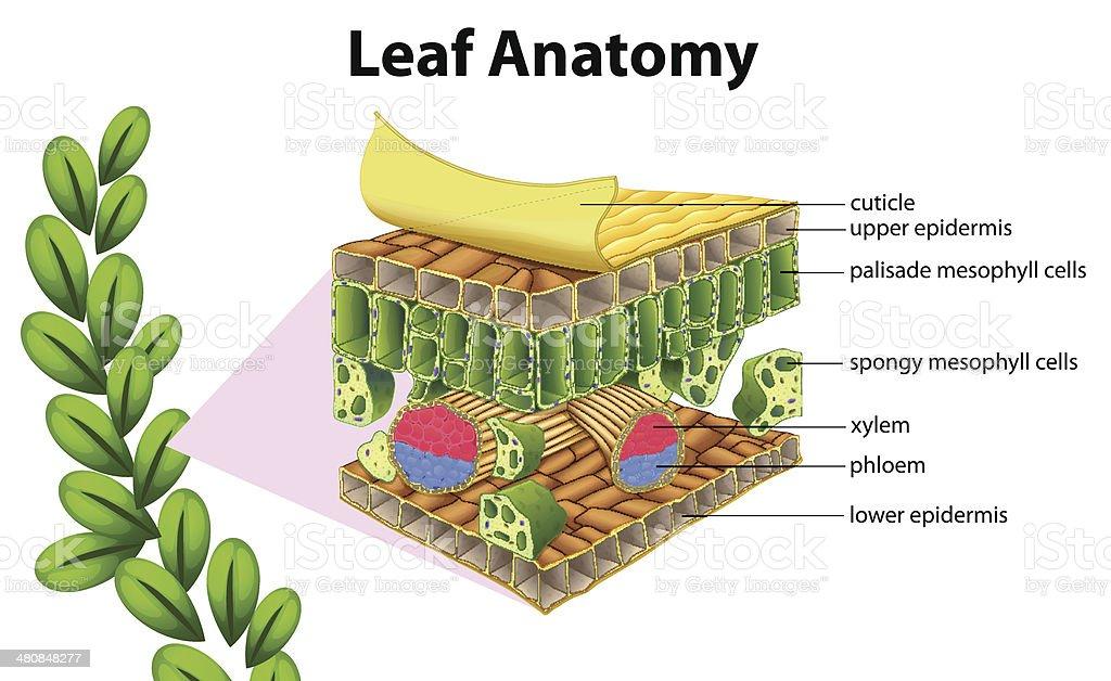 Leaf anatomy royalty-free stock vector art