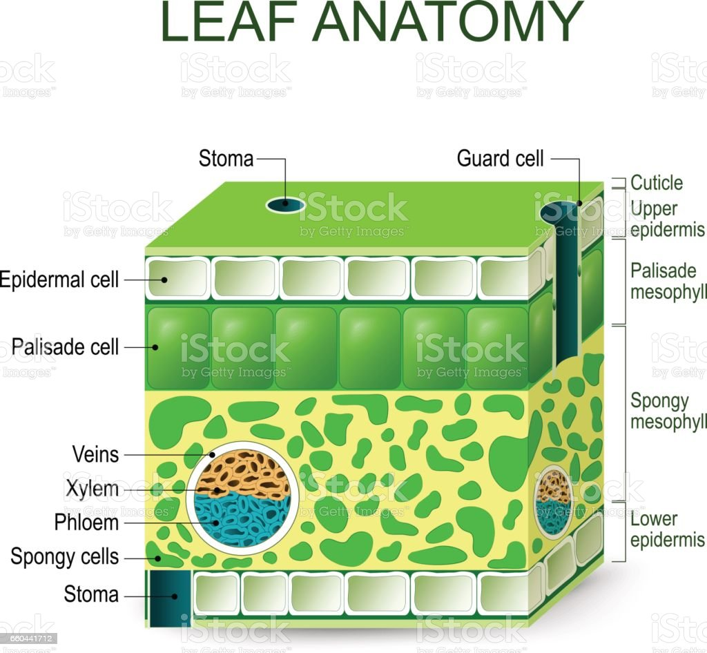 Leaf anatomy vector art illustration