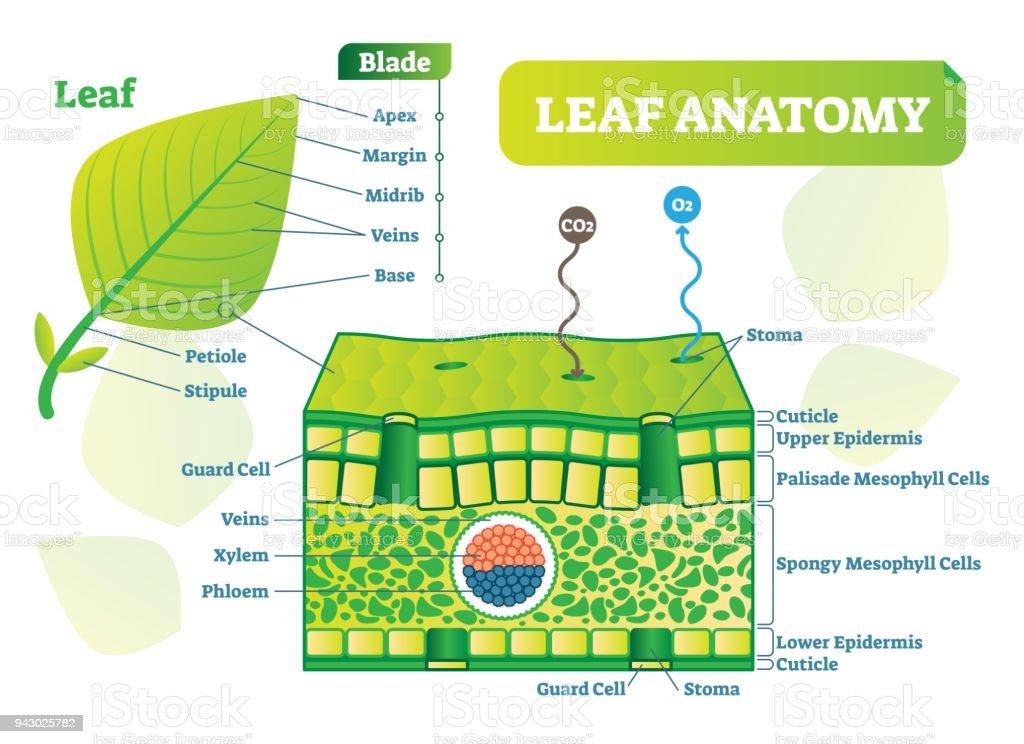 Leaf Anatomy Vector Illustration Diagram Biological Macro Scheme ...