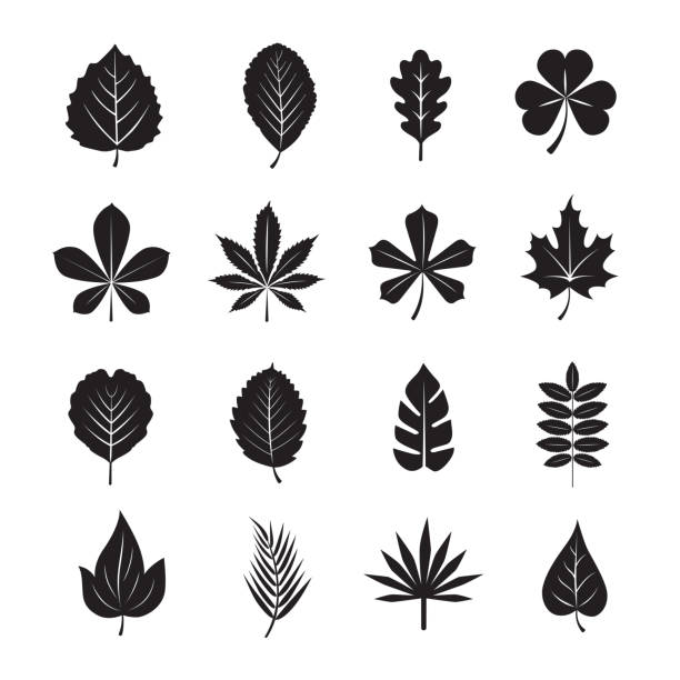 Leaf icon Leaf icon on white background, Set of 16 editable filled, Simple clearly defined shapes in one color. oak leaf stock illustrations