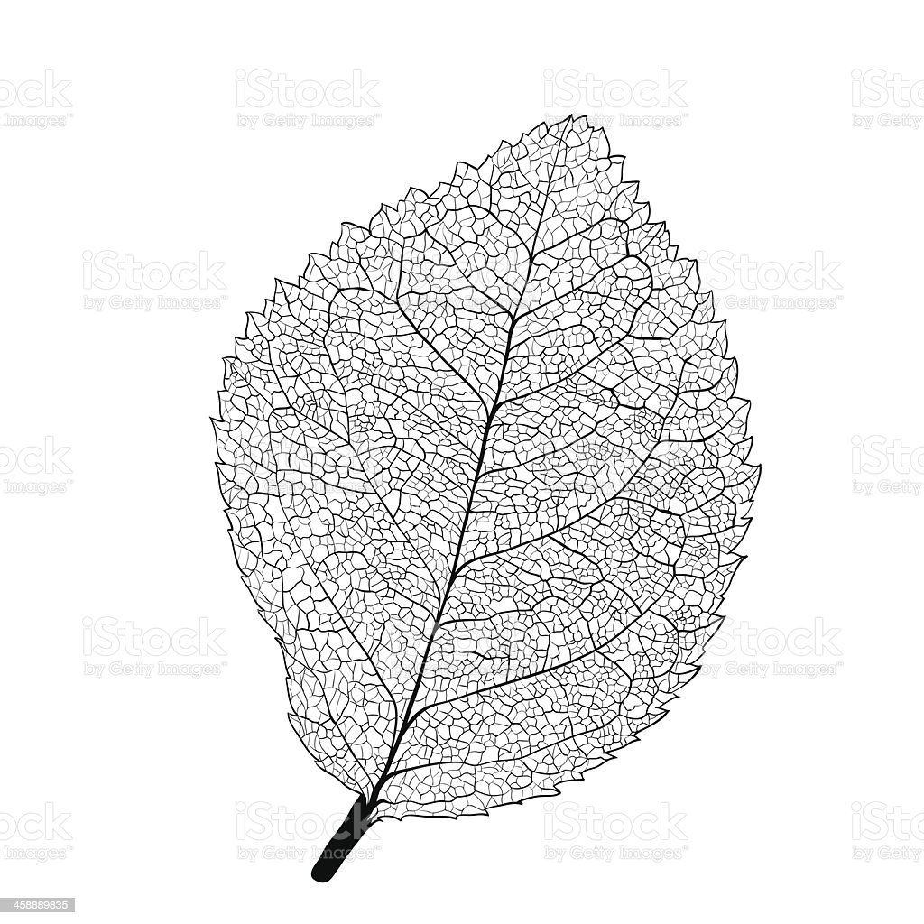 Leaf skeleton vector art illustration