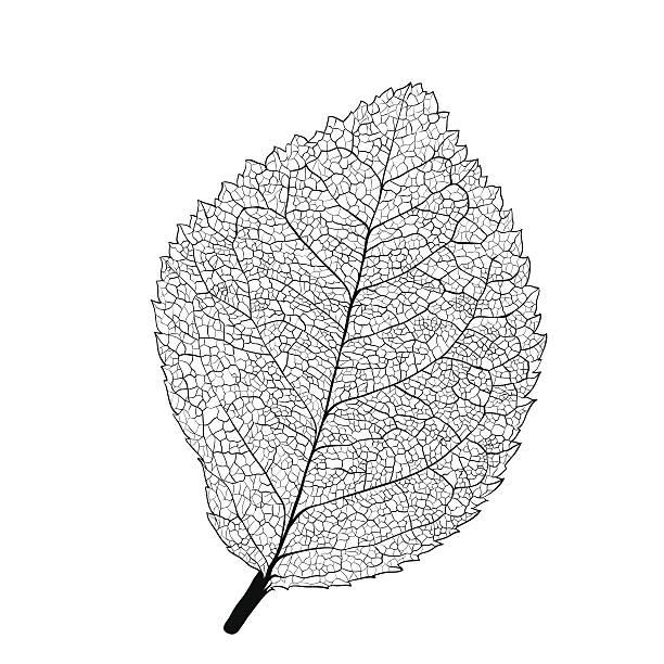 Leaf skeleton vector art illustration
