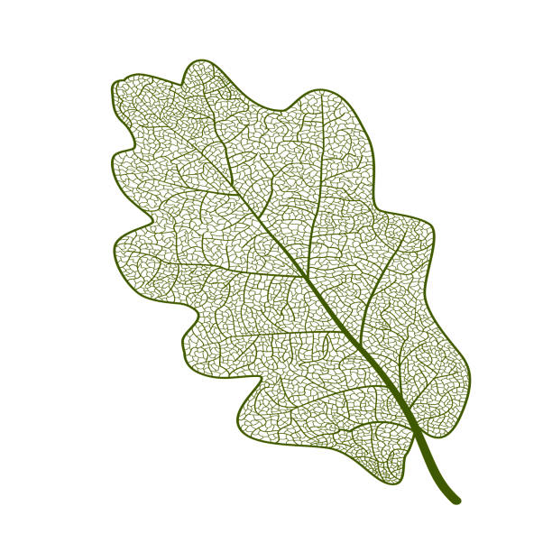 Leaf vein oak. Leaf vein oak. Vector illustration. EPS 10 oak leaf stock illustrations