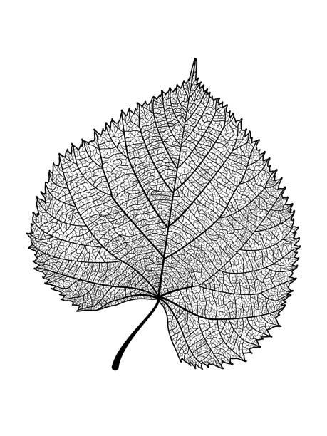 Leaf vein. vector art illustration