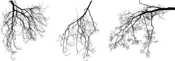 leafless filialen - winterruhe stock-grafiken, -clipart, -cartoons und -symbole