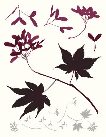 Leafs Seeds Maple Japanese Tree