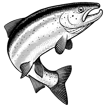 Illustration of a leaping Atlantic Salmon in a vintage style.