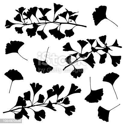 Set of ginkgo plant silhouettes. Leaves and branches. Detailed images isolated black on white background. Vector design elements.