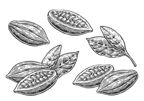 leaves and fruits of cocoa beans. - plant pod stock illustrations