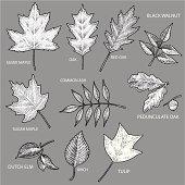 Leaves - Maple, Oak, Elm, Birch, Tulip, Walnut