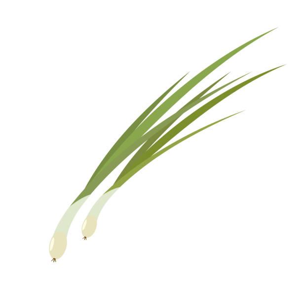 leek. onion leaves. leek. onion leaves. Isolated vector illustration scallion stock illustrations
