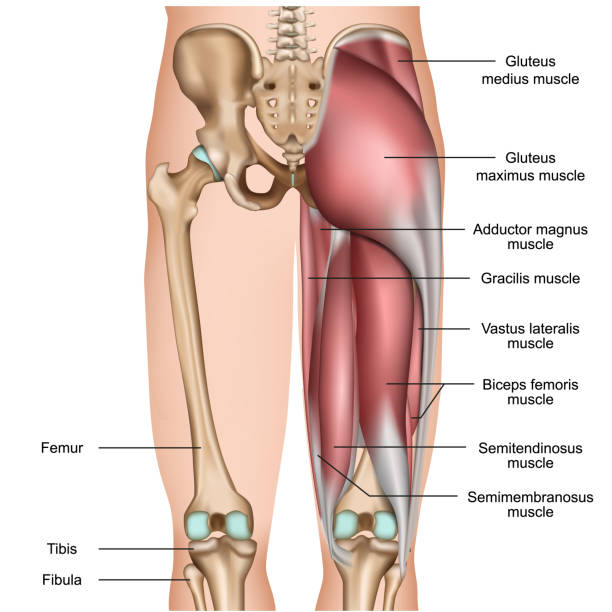 leg back muscles 3d medical vector illustration on white background leg back muscles 3d medical vector illustration on white background eps 10 human muscle stock illustrations