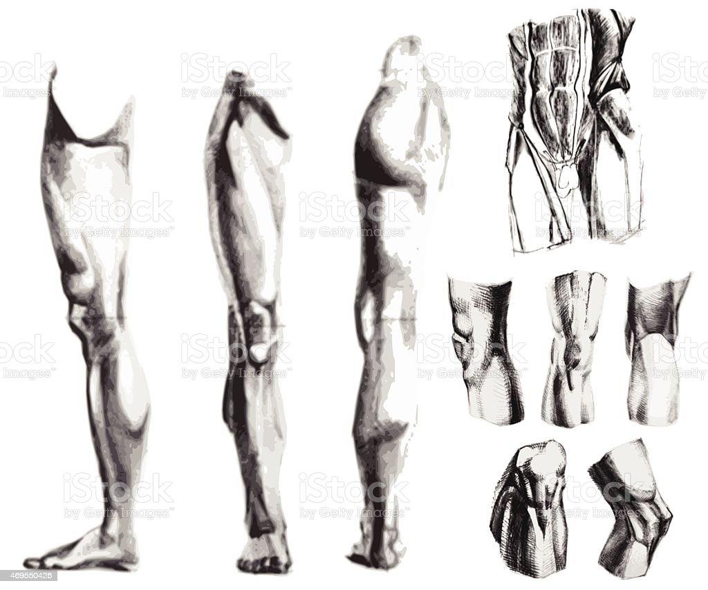 Bein Das Knie Bauch Muskeln Stock Vektor Art und mehr Bilder von ...