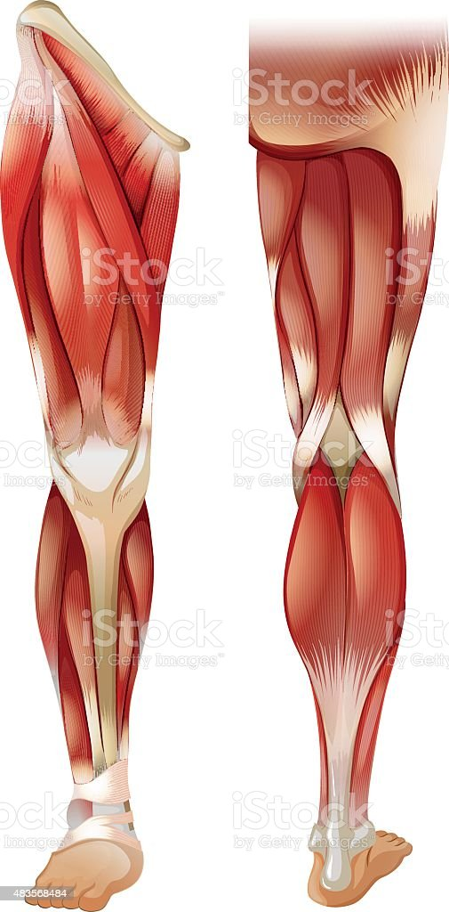 Schön Beinmuskel Diagramm Anatomie Bilder - Menschliche Anatomie ...