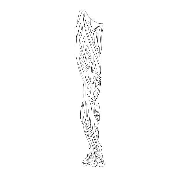 leg muscles front view - ludzka noga stock illustrations
