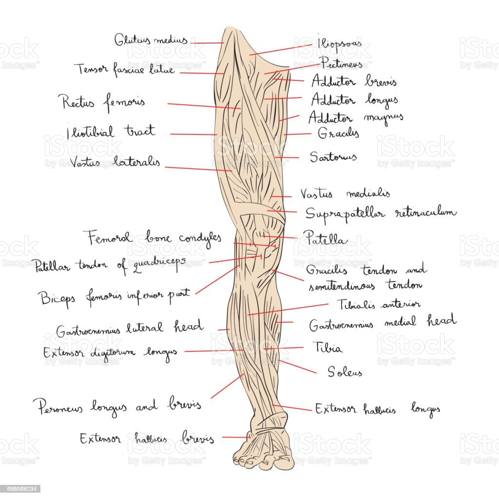 Ilustración de Vista Frontal De Los Músculos De La Pierna Con El ...