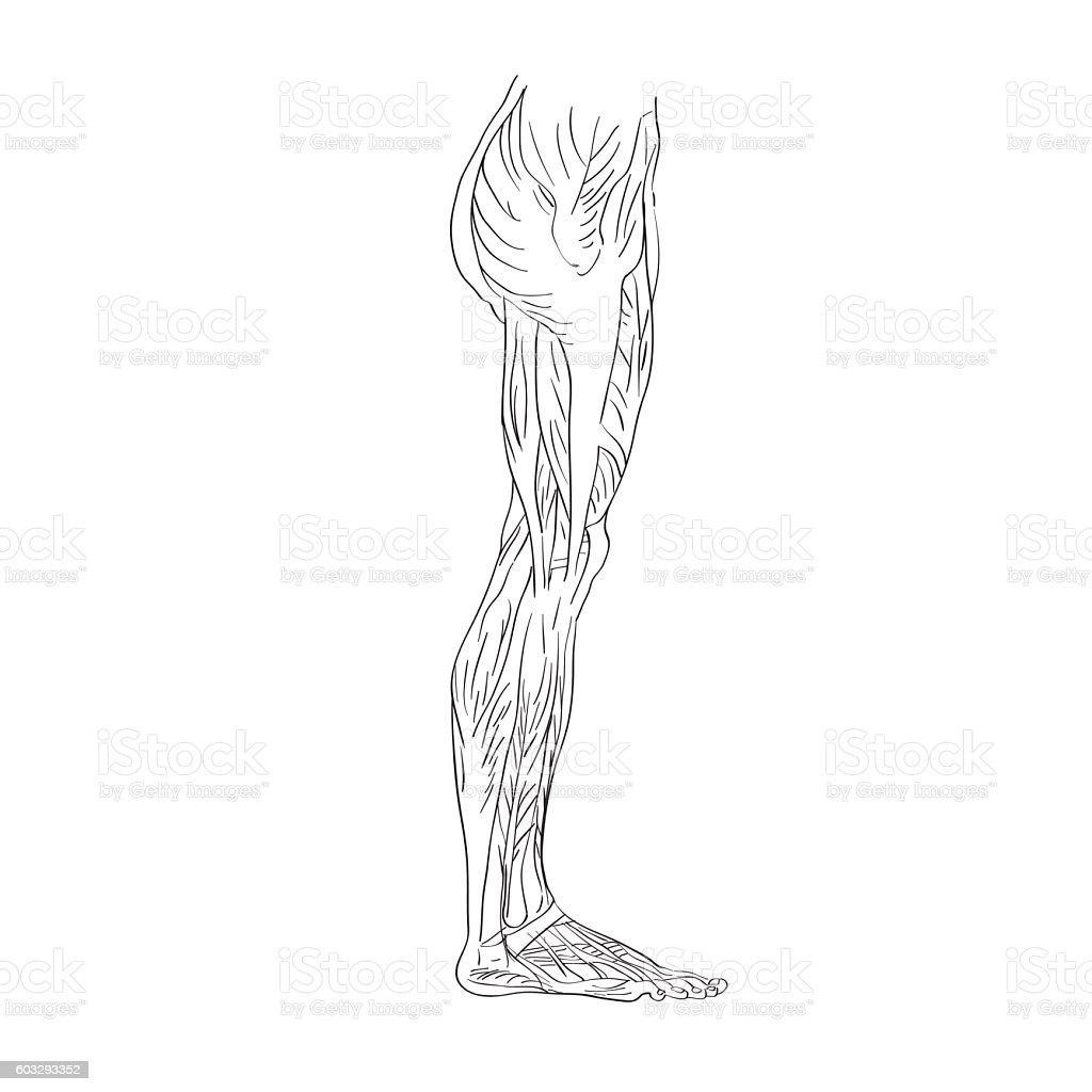 Leg Muscles Lateral View Stock Vector Art More Images Of Anatomy