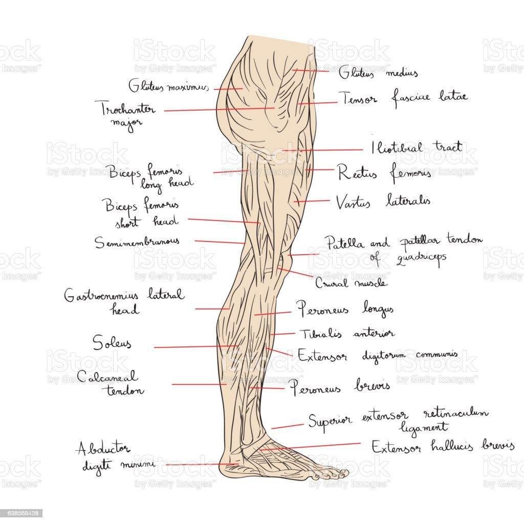Ilustración de Músculos De La Pierna Lateral Vista Con Texto y más ...