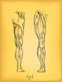 istock Leg Muscles 157990077