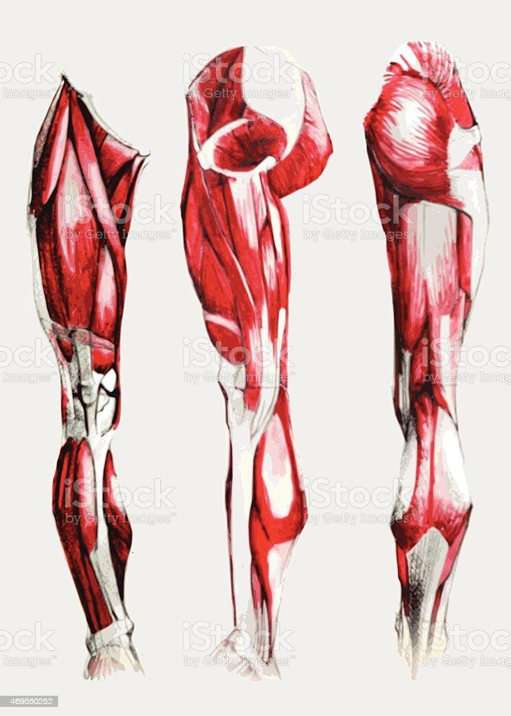 Bein Muskeln Stock Vektor Art und mehr Bilder von 2015 469550252 ...