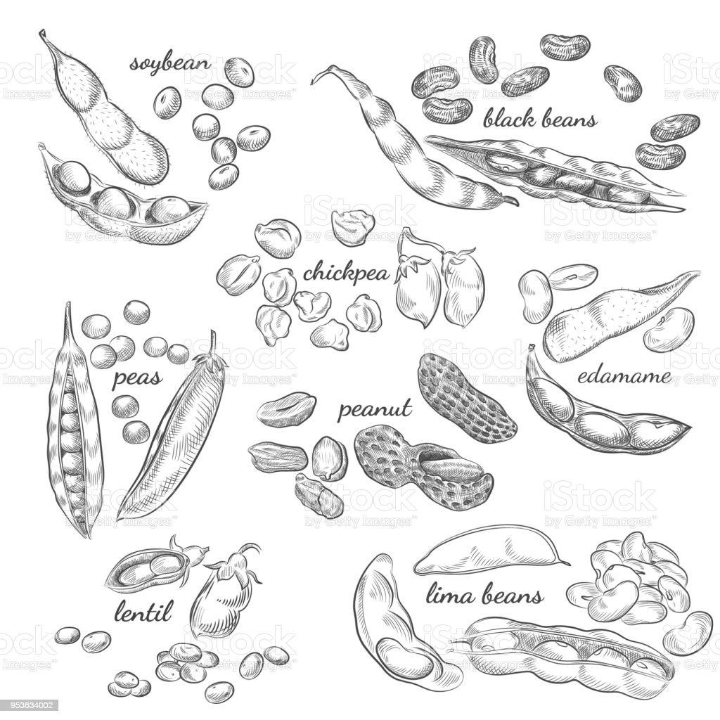 Legumes hand drawn illustration. vector art illustration