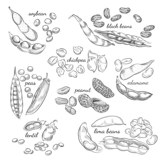 Legumes hand drawn illustration. Nuts, peas, beans, pods and shells sketches isolated on white background. chick pea stock illustrations