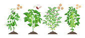 Legumes plants with ripe fruits growing from soil isolated on white background. Pea, Common Bean, Chickpea, Soybean mature plants with pods and green foliage and their ripe seeds infographic elements