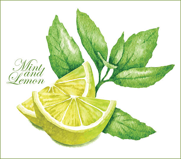 Lemon and mint sketches. Hand made vector sketch of lemon with leaves of mint. lime stock illustrations