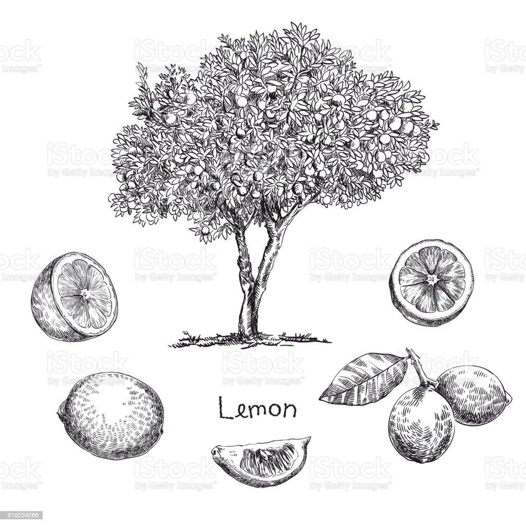 lemon tree sketch vector art illustration