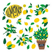 Lemon tree branches with flowers, fruits and leaves. Flat style citrus plant elements with large yellow citron and green bush in a pot. Summer vector illustration with lettering text for print, poster