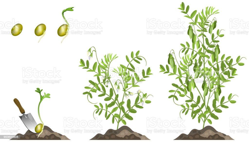 Lentil plant growth stages, set of vector illustrations. vector art illustration