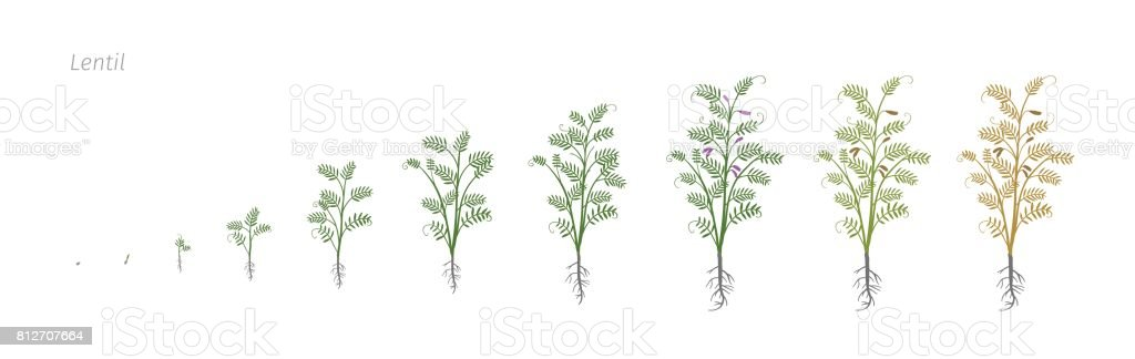 Lentil Soybean Lens culinaris. Growth stages vector illustration vector art illustration