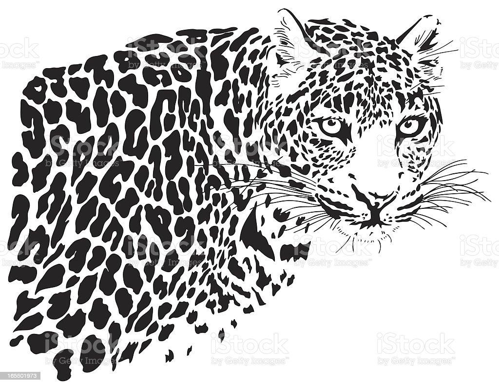 Leopard illustration (Panthera pardus)