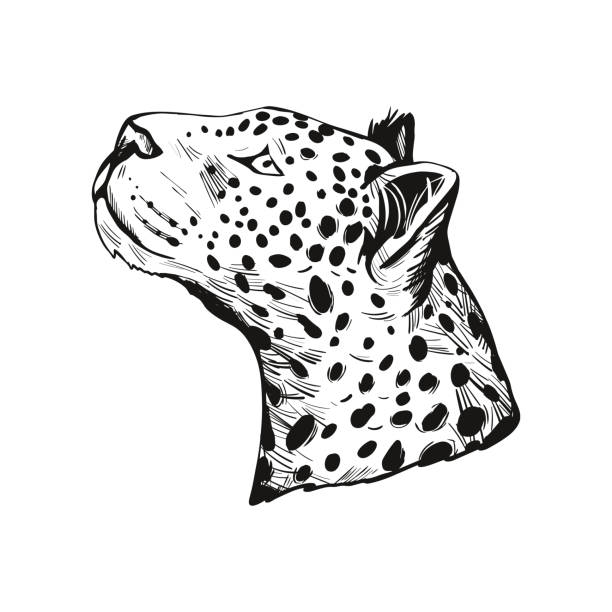 illustrazioni stock, clip art, cartoni animati e icone di tendenza di leopard portrait of exotic animal isolated vector illustration sketch. monochrome profile of panther looking aside. felidae mammal with furry coat with dots. carnivore panthera pardus wildlife. - ocelot