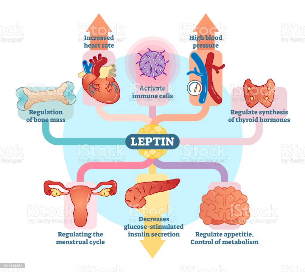 Leptin hormone role in schematic vector illustration diagram. vector art illustration