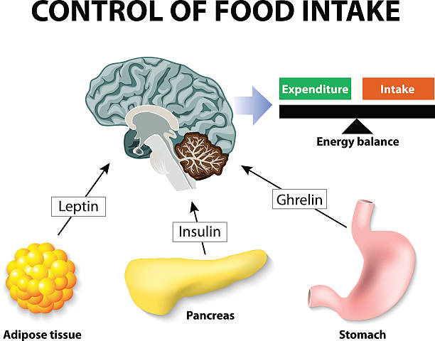 leptin Control of food intake. Human hormones. Leptin, insulin and Ghrelin. Leptin and the regulation of energy balance adipose tissue stock illustrations